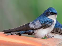 <b>Blue-and-white</b> Swallow - eBird
