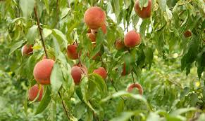 Image result for Georgia peach orchard pictures