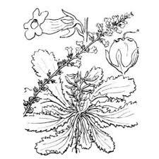 Genere Anarrhinum - Flora Italiana