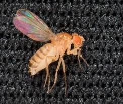 nasa s next top model the fruit fly nasa fruit fly drosophila melanogaster such as those planned for use as model organisms for