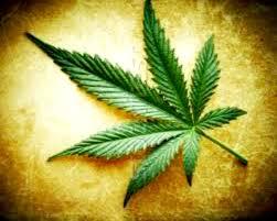 Resultado de imagem para cannabis
