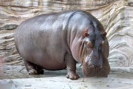 Afbeeldingsresultaat voor nijlpaarden