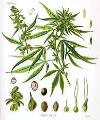 Image result for cannabis