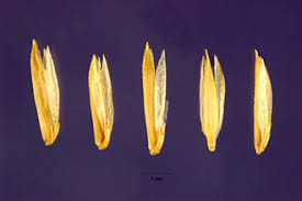 Plants Profile for Koeleria macrantha (prairie Junegrass)