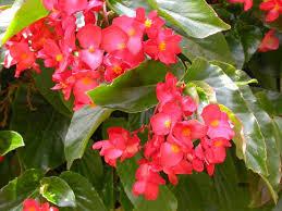 Image result for dragon leaf begonia