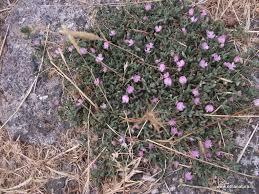 Etnanatura Flora: Ononis oligophylla
