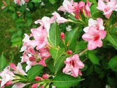 Weigela florida Oldfashioned weigela, Rose Weigela, Old ...