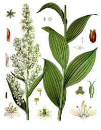 Veratrum album - Wikipedia
