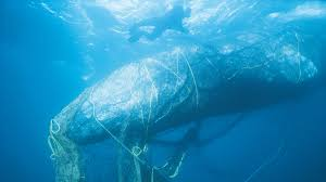 Ghost <b>Gear</b>: Whales, <b>Sea</b> Turtles, Seals Are The Unintended Catch ...