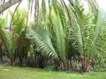 raffia farinifera