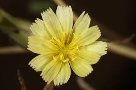 Lactuca serriola Calflora