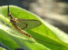 Image result for mayfly