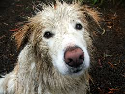 Image result for big wet dog