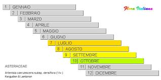 Artemisia caerulescens subsp. densiflora [Assenzio litorale a fiori ...