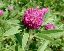 Trifolium alpestre - Wikipedia
