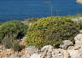 Anthyllis hermanniae subsp. melitensis (Maltese Yellow Kidney ...