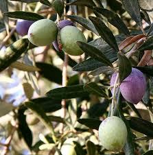 оливковый - Olive - qwe.wiki