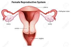 female reproductive system diagram   anatomy human body    female reproductive system diagram female reproductive systems diagram human anatomy diagram