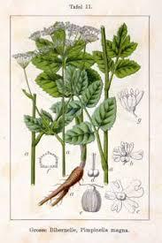 Pimpinella major Greater Burnet Saxifrage, Hollowstem burnet ...