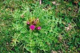 Cirsium in Flora of China @ efloras.org