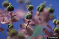 cypress spurge: Euphorbia cyparissias (Euphorbiales ...
