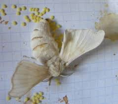 Resultado de imagen de gusano de seda huevos pequeños