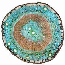 Файл:Поперечный <b>срез</b> стебля Ginkgo biloba.jpg — Викимедиа