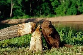 Image result for beaver dam