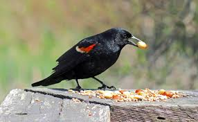 <b>Feeder Tales</b>: Re-learning life lessons at the bird <b>feeder</b> - Star Journal