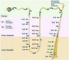 search  google search and galleries on pinterestnephron absorption secretion diagram   google search