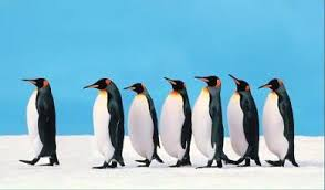 Photo of penguin leading other penguins in a row