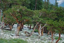 how to celebrate forests and help save them pacific standard hail coats the ground in a stand of ancient bristlecone pines in the mt goliath natural area part of the arapaho national forest about 40 miles west of
