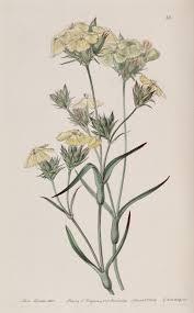 Dianthus ferrugineus - Wikispecies