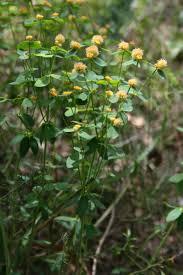 Euphorbia fragifera - Wikipedia, la enciclopedia libre