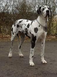 Τι είναι η νόσος του Addison στον σκύλο;