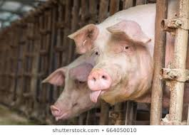 <b>Funny Pig</b> Images, Stock Photos & Vectors | Shutterstock