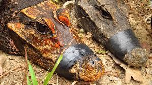 Why are these <b>African</b> crocodiles turning <b>orange</b>? | CNN