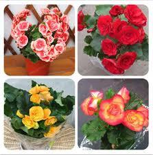 <b>50 Pcs Bag Begonia</b> Seeds Mixed Color Beautiful Bonsai Flower ...