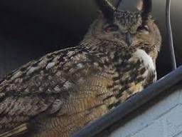 Hollanda'da puhu kuşu kabusu bitti
