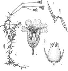 A New Subspecies of Arenaria grandiflora (Caryophyllaceae) from ...