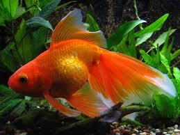 <b>Золотые рыбки</b> – уход и содержание, описание, размножение ...