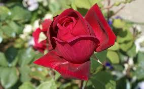 نتیجه تصویری برای عکس گل رز