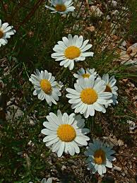 Leucanthemum — Wikipédia