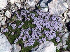 Grazia delle rupi [Petrocallis pyrenaica]