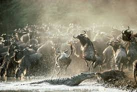 Image result for images of wildebeest migration