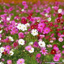 Cosmos bipinnatus Seeds | American Meadows