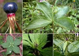 Paris quadrifolia L. - Sistema informativo sulla flora delle Alpi ...