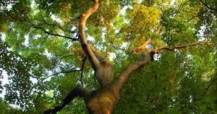 Árboles con forma de mujer