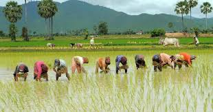 Image result for PICTURES OF RICE FARMING