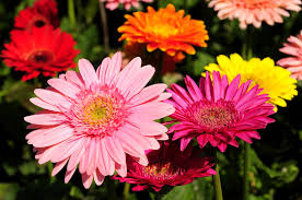 5 Common <b>Daisy Flowers</b> That Are Perfect for Beginning Gardeners ...